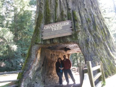 Chandelier Tree, Redwoods, CA 2012